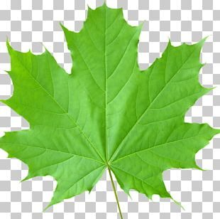 Sugar Maple Maple Leaf Tree Autumn Leaf Color PNG