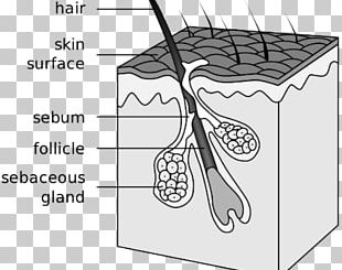 Hair Follicle Sebaceous Gland Acne Canities Integumentary System PNG