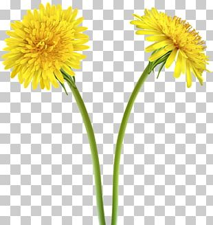 Dandelion Yellow Flower PNG
