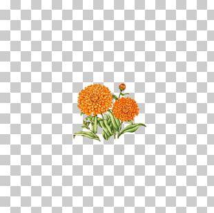 Chrysanthemum Indicum Flower Floral Design PNG