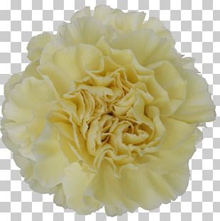Carnation Cut Flowers Yellow Color PNG
