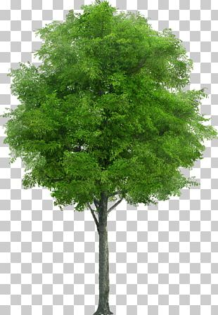 Tree Stock Photography Drawing Plant PNG