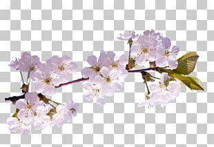 Spring Cherry Blossom Diary LiveInternet PNG