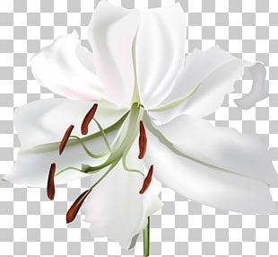 Lilium Flower White Botanical Illustration PNG