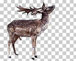 Reindeer Red Deer White-tailed Deer Elk PNG