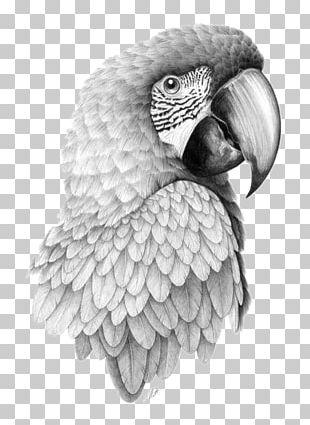 Parrot Bird Drawing Pencil Sketch PNG