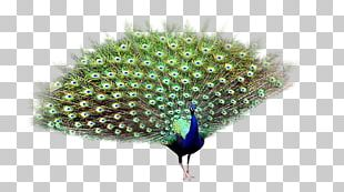 Asiatic Peafowl Bird PNG