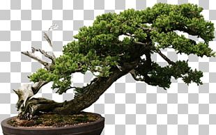 Chinese Sweet Plum Tree Sageretia PNG