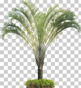 Dypsis Decaryi Arecaceae Ornamental Plant Tree PNG