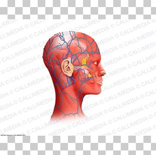 Neck Muscle Blood Vessel Head Anatomy PNG