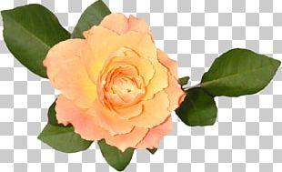 Garden Roses Floribunda Cabbage Rose China Rose Rose Hip PNG
