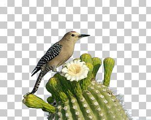 Saguaro National Park Bird Woodpecker Flower PNG