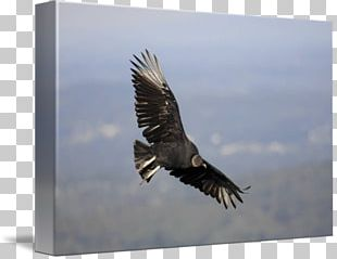 Bald Eagle Hawk Beak Feather PNG