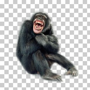 Primate Monkey Portraits Chimpanzee Macaque PNG