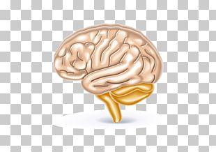 Human Body Organ System Anatomy Human Brain PNG