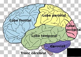 Human Brain Lobes Of The Brain Lateralization Of Brain Function Human Body PNG