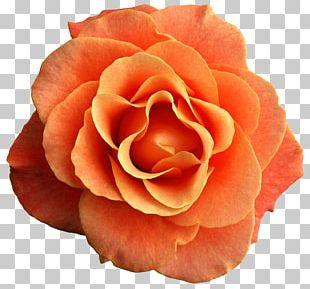 Rose Orange Flower PNG