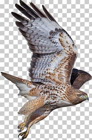 Hawk Bird Buzzard Eagle Falcon PNG
