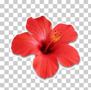 Shoeblackplant Hibiscus Tea Flower Stock Photography PNG