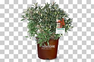 Tree Shrub Garden Plants 3 Gal. Bronze Beauty Cleyera PNG