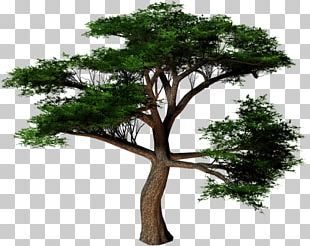 Plane Trees Cottonwood Conifers PNG