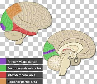 Visual Cortex Cerebral Cortex Primary Motor Cortex Parietal Lobe Primary Somatosensory Cortex PNG