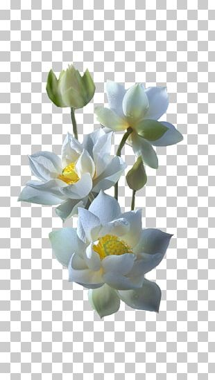 White Nelumbo Nucifera Water Lilies Yellow Lotus Color PNG