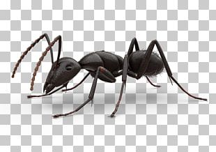 Carpenter Ant PNG