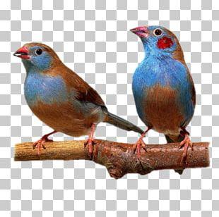 Bird Finch American Sparrows PNG