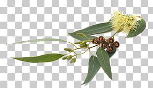 Eucalyptus Globulus Eucalyptus Smithii Eucalyptus Radiata Eucalyptus Oil Essential Oil PNG
