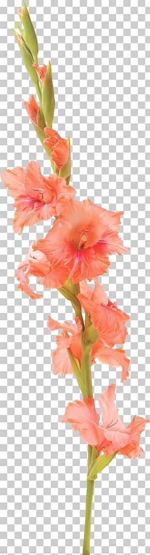 Gladiolus Flower Tattoo Stock Photography Petal PNG