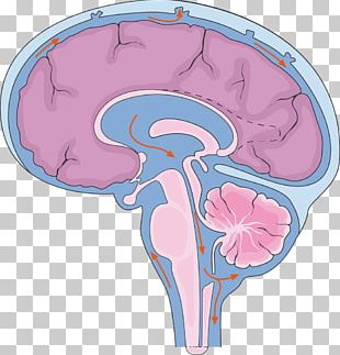 Brain Central Nervous System Cerebrospinal Fluid Spinal Cord PNG