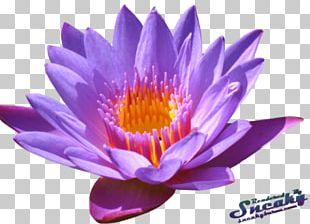 Sacred Lotus Portable Network Graphics Flower PNG