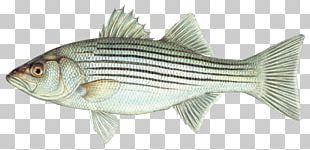 Hybrid Striped Bass Northern Pike Striped Bass Fishing PNG