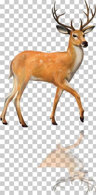 Red Deer Roe Deer White-tailed Deer Moose PNG