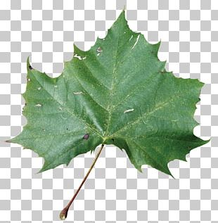 American Sycamore Sycamore Maple Leaf Beach Rose American Sweetgum PNG