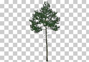 Pine Family Evergreen PNG