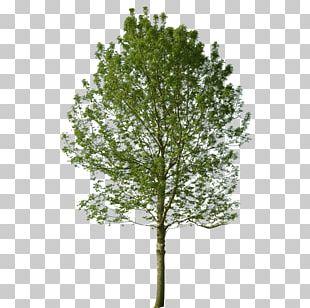 Populus Nigra Tree Landscape Architecture Black Locust PNG