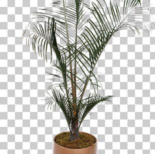 Babassu Howea Forsteriana Houseplant Arecaceae Flowerpot PNG