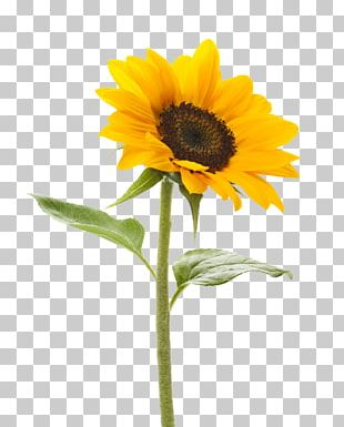 Common Sunflower Stock Photography Stock.xchng Color PNG