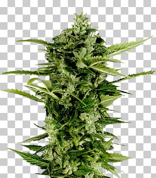 Autoflowering Cannabis Seed Company Skunk PNG