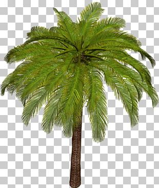 Arecaceae Asian Palmyra Palm Tree Leaf Plant Stem PNG