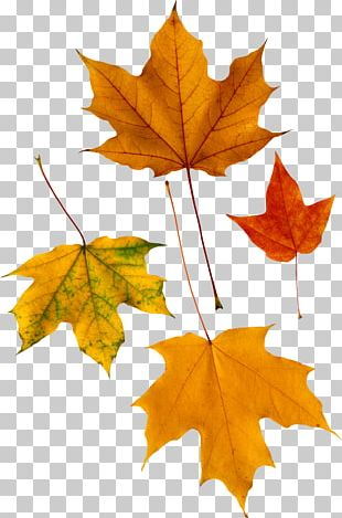 Red Maple Autumn Leaf Color PNG