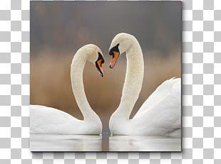 Cygnini Bird Desktop Love Enchanting The Swan PNG