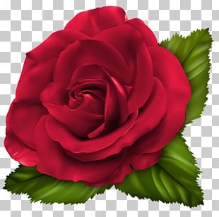 Garden Roses Cabbage Rose Floribunda Red PNG