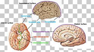 Brain Cerebrum Cerebral Hemisphere Occipital Lobe Frontal Lobe PNG