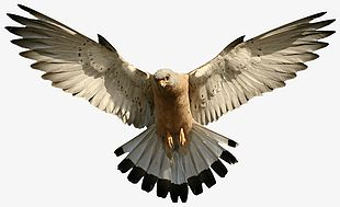 Eagle Object PNG