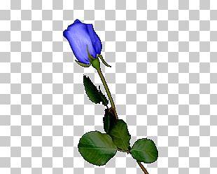 Blue Rose Garden Roses Centifolia Roses Purple Cut Flowers PNG