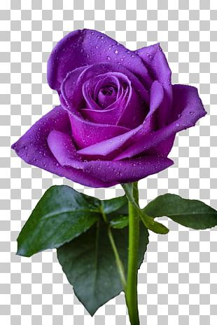 Purple Rose Purple Rose Flower Violet PNG