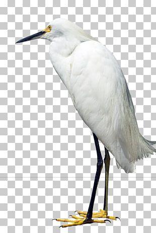 Great Egret Heron Bird Snowy Egret PNG